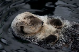sleeping-sea-otter-3